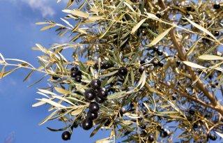 Naktuinbouw vernieuwt toetsprotocol Xylella fastidiosa