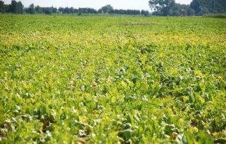 Meerdere oorzaken zorgen voor geelkleuring in suikerbieten
