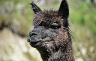 Britten+op+bres+tegen+euthanasie+alpaca+vanwege+rundertbc