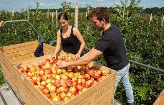 Van Dijk in Ophemert start pluk vroege appel Delcorf Sissired