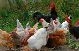 Vogelgriep bij Belgische hobbyvogels