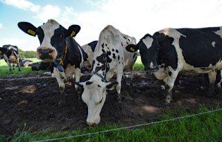 Kabinet overweegt onteigening boeren wegens stikstofuitstoot