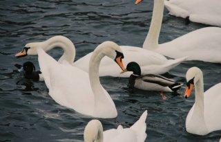 Vogelgriep bij sierwatervogels in Heeten