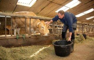 Vleesveehouder heeft zieke koeien door jakobskruiskruid