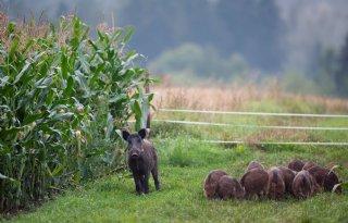 Meer uitbraken Afrikaanse varkenspest in Polen dan ooit