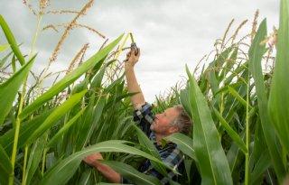 Maisplanten gezond en vooral nog altijd groen
