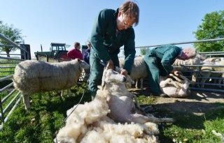 Hollands Wol Collectief wil minimaal 1 euro per kilo voor schapenhouder