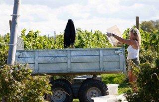 Aanzienlijk lagere wijnoogsten in Italië, Frankrijk en Spanje