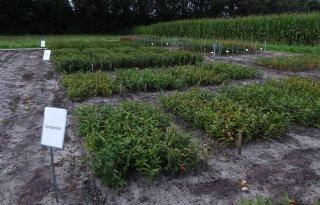 Stichting ROL: 'Weerbare lelies leveren middelenbesparing op'