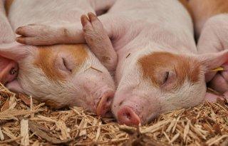 16+miljoen+euro+voor+Vlaamse+varkenssector