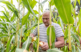 Maismeetnettelers verwachten binnen twee weken te oogsten