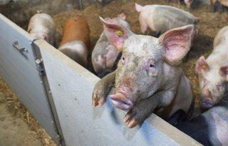 Minder varkens, rundvee stabiel en groeispurt geiten gestopt