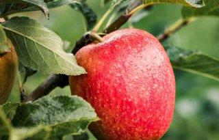 Fruitmasters presenteert appelras Tessa met ludieke actie
