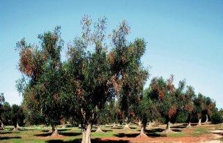 Waardplantenlijst+xylella+uitgebreid