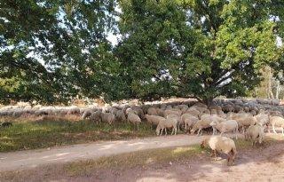 Brabantse veehouders: zet vaart achter werkbaar wolvenplan