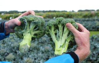 Seminis maakt oogst broccoli en bloemkool beter voorspelbaar