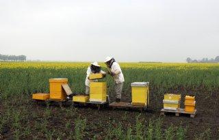 Honingbijen+eten+ook+voedsel+van+wilde+bijen