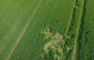 Wilde zwijnen doen zich te goed aan mais bij Engbertsdijksvenen