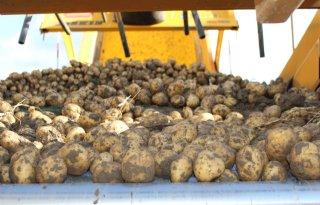 CBS verwacht meer uien en minder aardappelen