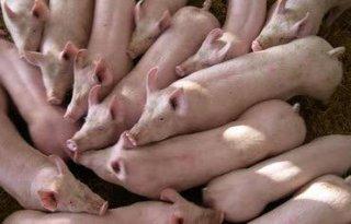 Varkensprijs+stijgt%3A+sector+juicht+niet