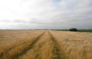 Areaal graan in 2012 laag