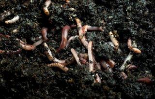 Regenworm+veroorzaakt+opwarming+van+aarde