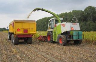 Maïs van natuurland vroeg gehakseld