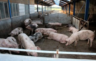 Saldo vleesvarkens verder onder druk