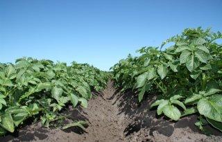 Uitspraak over gmo-aardappelen