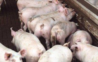 Meer Braziliaans varkensvlees naar Rusland