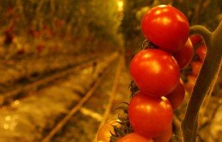 Schimmel+zet+tomaat+onder+druk