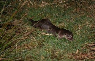 Otter+lijkt+terug+in+Twente