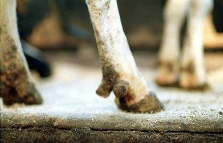 Manke koe kan manke joggers helpen