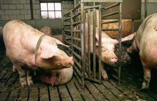 Varkenssector scoort door productiviteit
