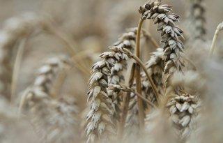 Irak wil tarweproductie verdubbelen
