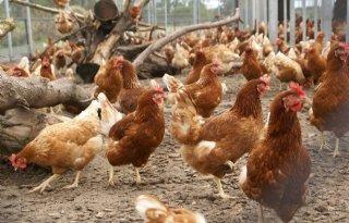 Verbod ingrepen pluimvee ook voor import