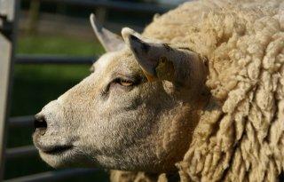 Aanhoudingen+voor+illegale+slacht+schapen