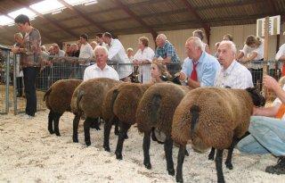 Toch schapenkeuring in Noord-Nederland