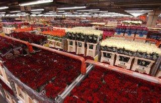 CBS: import 9 miljoen rozen per dag
