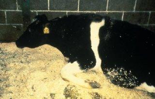BSE-geval in Slovenië