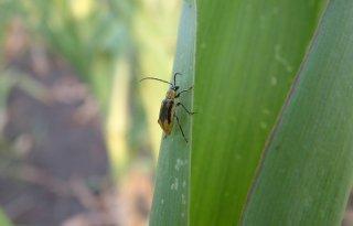 Maïswortelkever gevonden in België