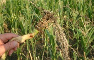 Tweede vondst maïswortelkever België