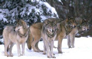 VVD%3A+wolf+niet+welkom+in+Nederland