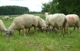 Duitse+trein+rijdt+in+op+kudde+schapen