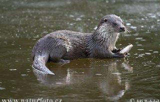 PvdD: Zuid-Holland moet otter beschermen