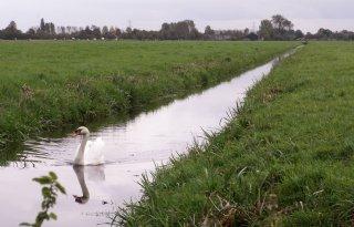 Flevolandse zwaan niet bejaagd