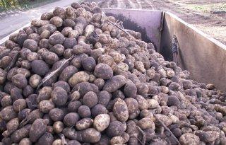 Recordoogst+aardappelen+in+Belgi%C3%AB