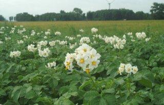 NEPG: aardappelareaal 3,8 procent groter