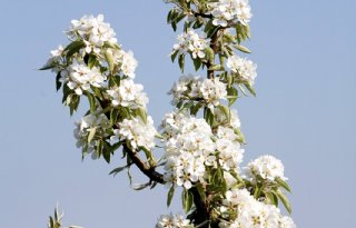 Extreem vroege bloei fruitteelt