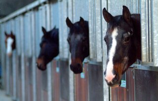 Mogelijk Nederlandse paarden in hamburgers